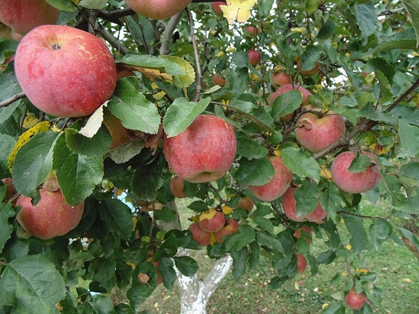 A gyümölcsösben sincs megállás, az almát például varasodás ellen kell permetezni