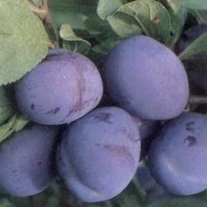 A Bluefre fajta a Stanley és a President fajta keresztezéséből létrehozott, finom ízű szilvafajta.