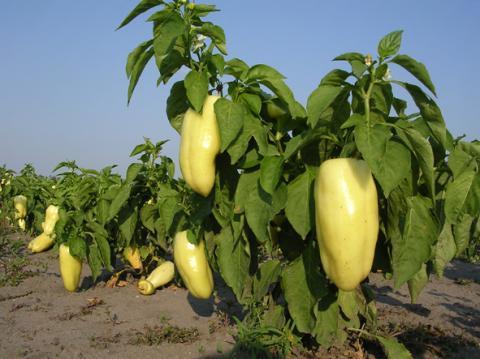 A paprika termesztése nem nehéz, hazánkban bárhol megterem