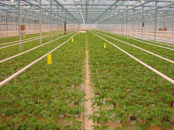A fénytoleráns paradicsom az üvegházi paradicsomtermesztésben hozhat forradalmat