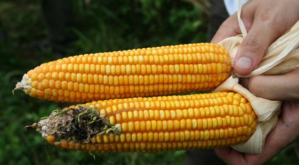 Vannak előnyei is a GMO növényeknek