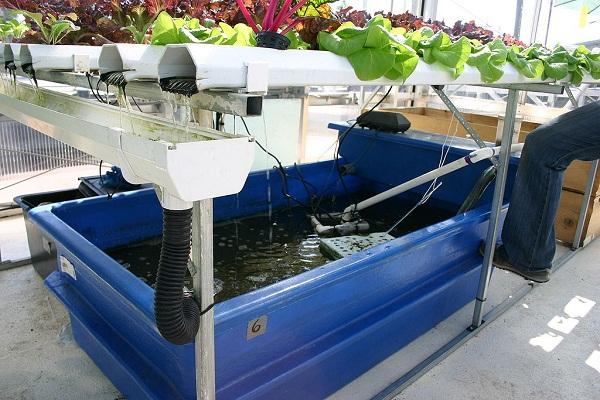 Az aquapóniás rendszerrel tökéletesen környezetkímélő módon lehet növénytermesztéssel foglalkozni