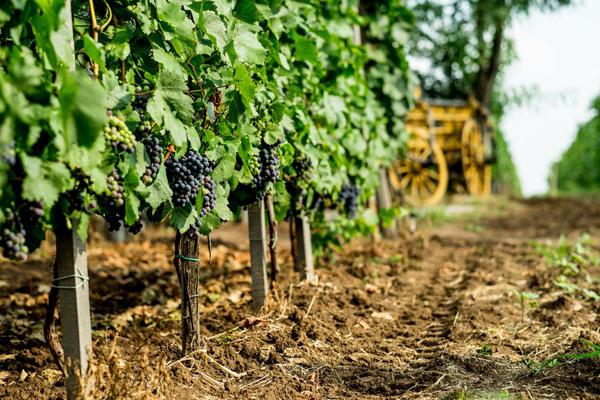 A kedvező időjárás miatt kevesebb növényvédelemre volt szükség a szőlőben és így is kiváló minőségű fürtök kerülnek le a tőkékről