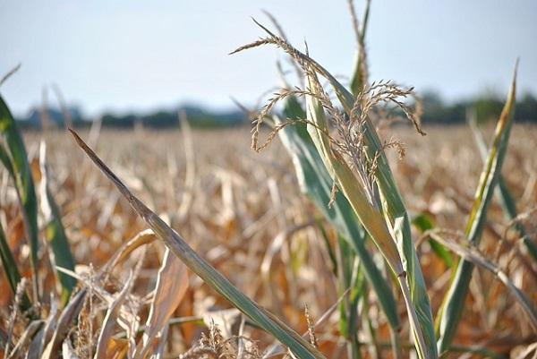 A kukoricának már túl későn jött a csapadék