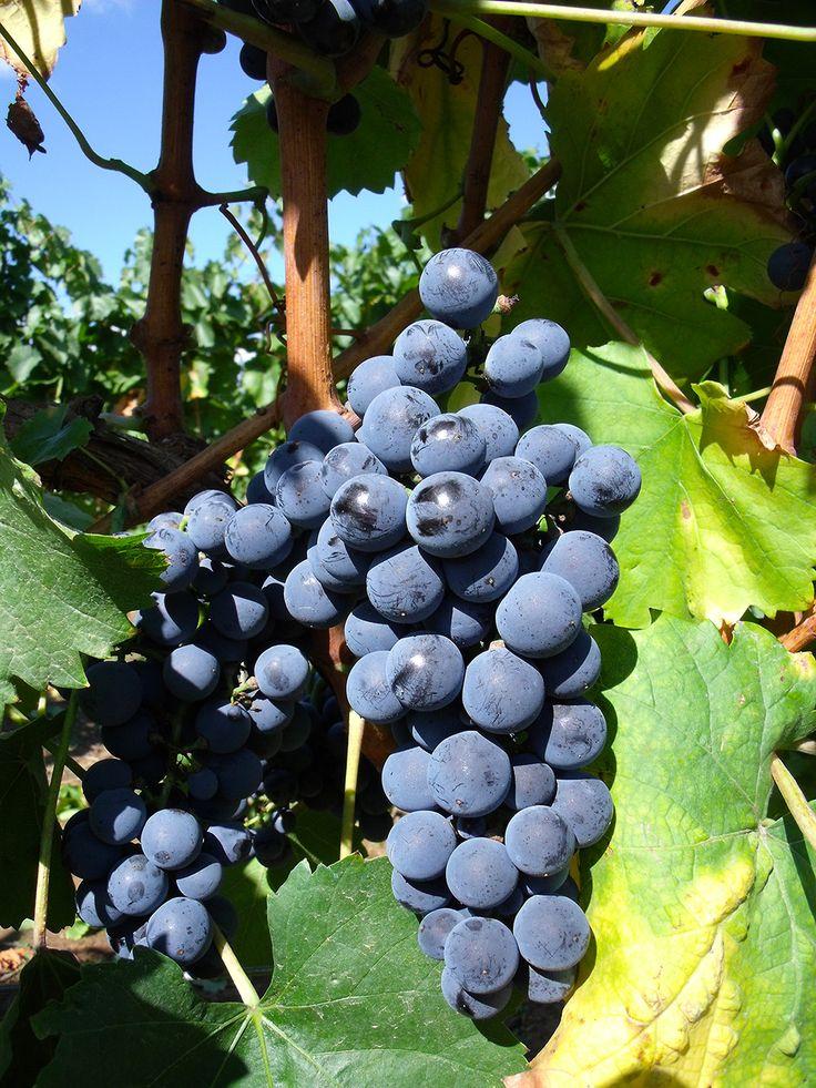 Kékfrankos (Fotó: pinterest.com)