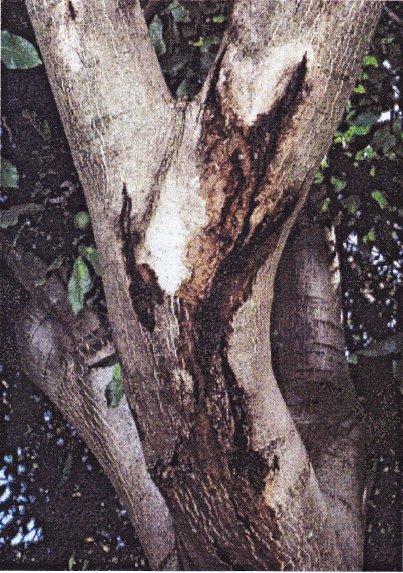 A Brenneria rubrifaciens kártétele a diófán (Fotó: dioskonyv.byethost3.com)