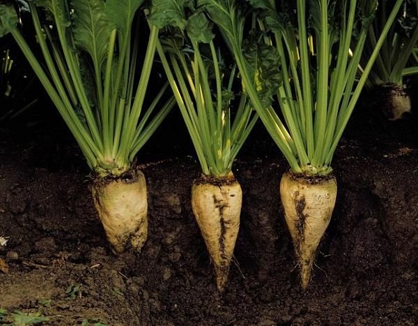 Jó hír a cukorrépa termesztőknek, újabb támogatást kap az ágazat