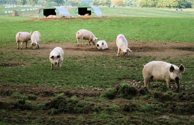 A sertések természetüknél fogva imádják túrni a földet az orrukkal