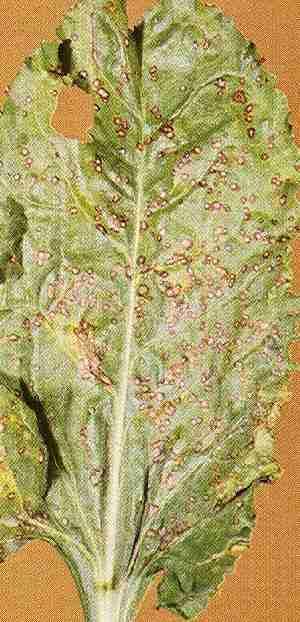 A fotón a cerkospórás levélragya tünetei láthatóak (Fotó: ctosz.hu)