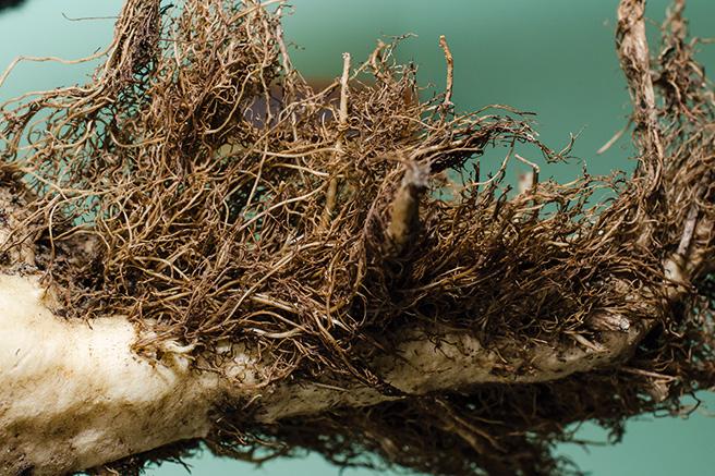 A rizománia tünete a cukorrépa gyökerén (Fotó: sesvanderhave.com)