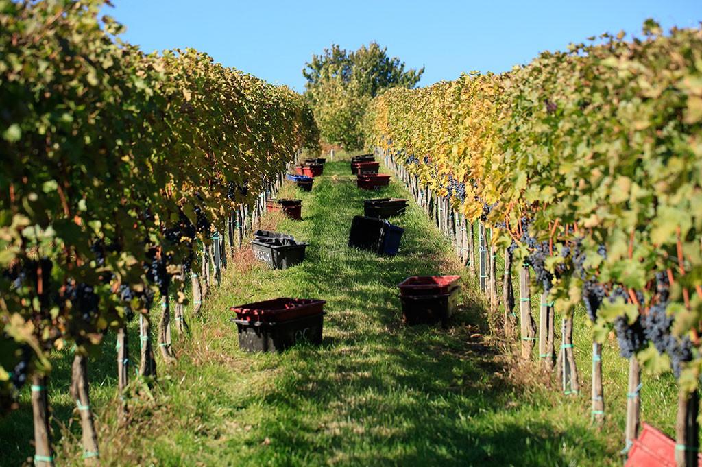 Jó évet zárhatnak idén a borászok, hála a jó szőlőtermésnek (Fotó: pince.bock.hu)