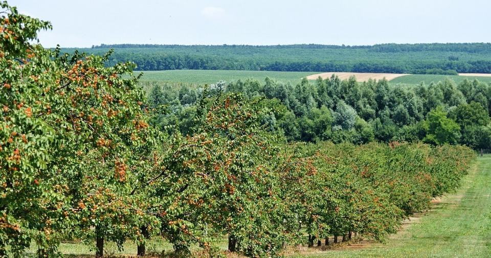 Termő és nem termő ültetvények között óriási különbség van kárenyhítés szempontjából (Fotó: birkaspalinka.hu)
