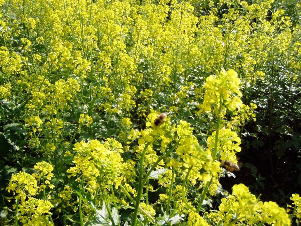 Kitűnő zöldtrágya növénynek számít a mustár. Időben visszaforgatva a talajba jelentősen képes javítani a talaj szerkezetét és tápanyagtartalmát is (Fotó: hp-kertem.blogspot.com)