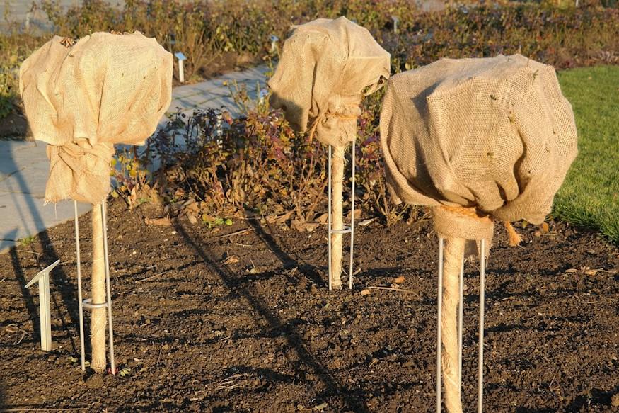 A magastörzsű rózsák lombját takarással védhetjük a hidegtől