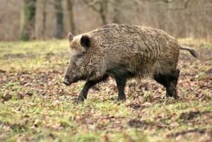 A vaddisznó a házisertés őse. Jellemzően hosszú, dús szőrzet borítja testét és a kanok alkalmanként hatalmas agyarakat is növesztenek.