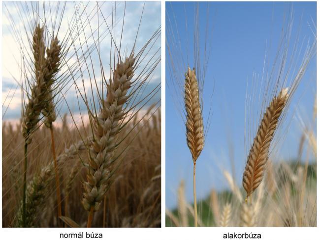 Ennyi a különbség a normál- és az alakor búza között (Fotó: agraragazat.hu)
