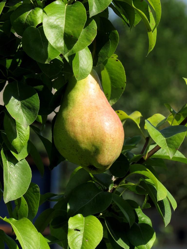 A körtét (főleg a télikörtét) még éretlen állapotban kell leszedni és majd tárolás közben lassan utóérik a gyümölcs