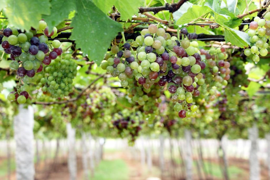 Több mint 400 ezer tonnát takarítottak be idén a szőlősgazdák