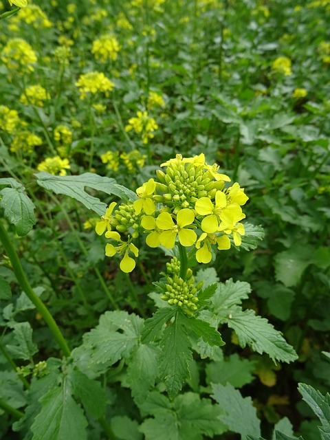 A mustár segítségével jelentősen csökkenthetjük a növényvédelemre szánt kiadásainkat