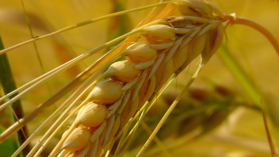 Jóval kevesebb gabona termett 2015-ben mint 2014-ben