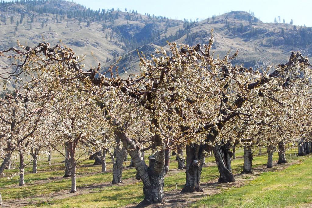 Ha ilyen szép és egészséges fákat szeretnénk kertünkbe, már most megkezdhetjük a koronaalakító metszést