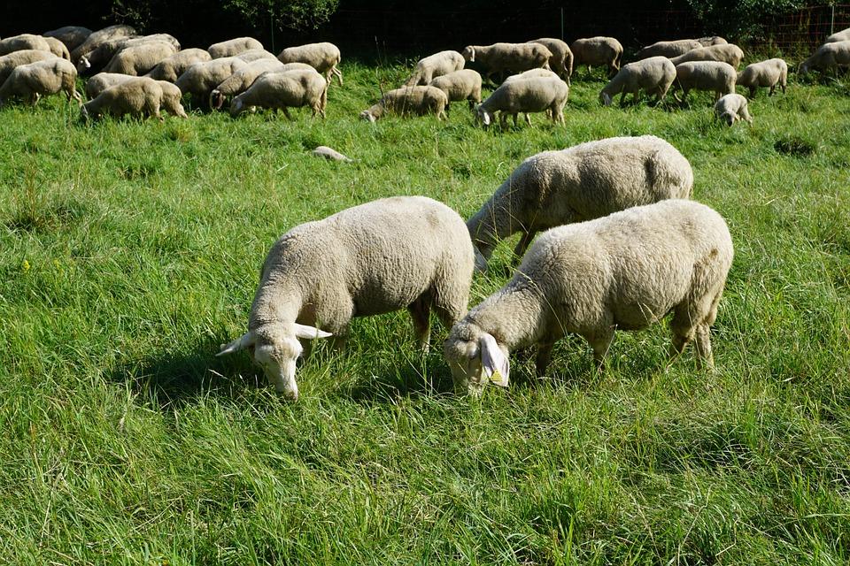 Egyre előkelőbb helyen szerepel a hazai állattenyésztésen belül a juh- és a bárányágazat