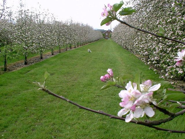 Legnagyobb veszélyben a virágzó gyümölcsfák voltak, így az almafákat is komoly károk érték