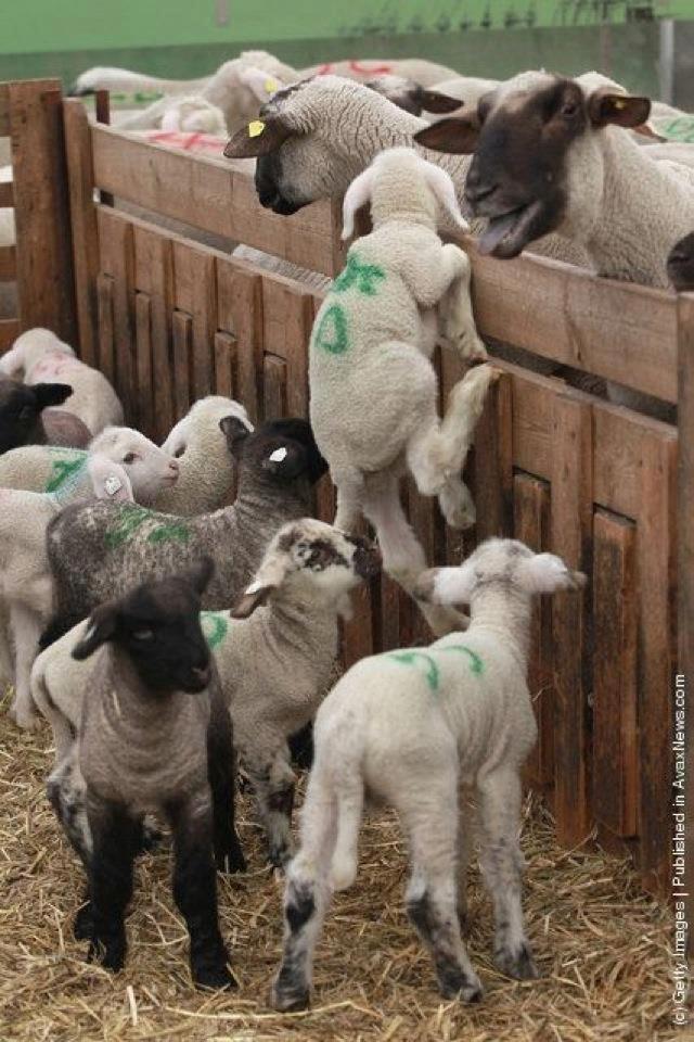 Ma már nem olyan nagy üzlet leadásra juhot tartani (Fotó: veganallatvedelem.blogspot.com)