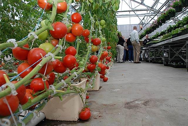A hidropóniás termesztés valóban nagyon hatékony, rogyadoznak a növények a termés alatt (Fotó: aquaponichowto.com)