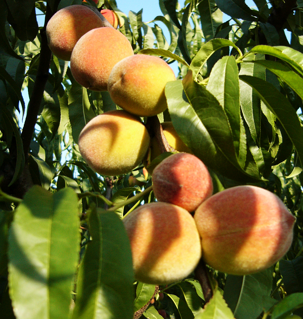 Aki szép termést szeretne, már most kénytelen permetszerhez nyúlni (Fotó: Shutterstock)