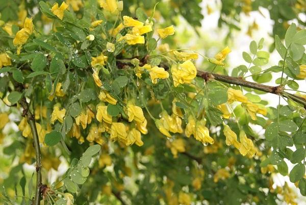 Nem csak fehér virágú akác létezik, a sárga akác is igen elterjedt hazánkban