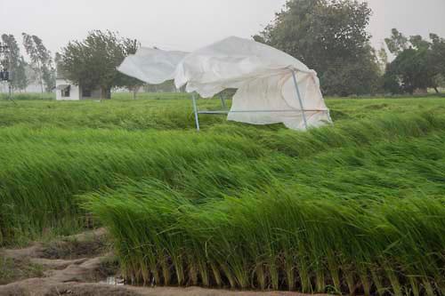 Ha a szél elfekteti a növényeket, garantált a terméskiesés (Fotó: indiaphotostock.photoshelter.com)