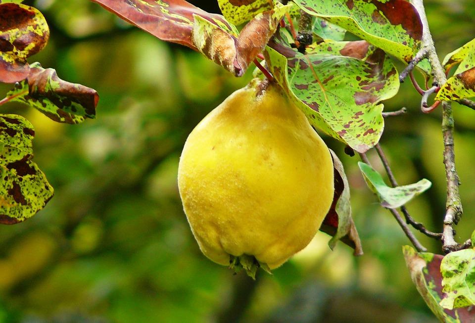 Sok féle betegség és kártevő támadhatja meg a birsalmát, érdemes hát odafigyelni a növényvédelemre.