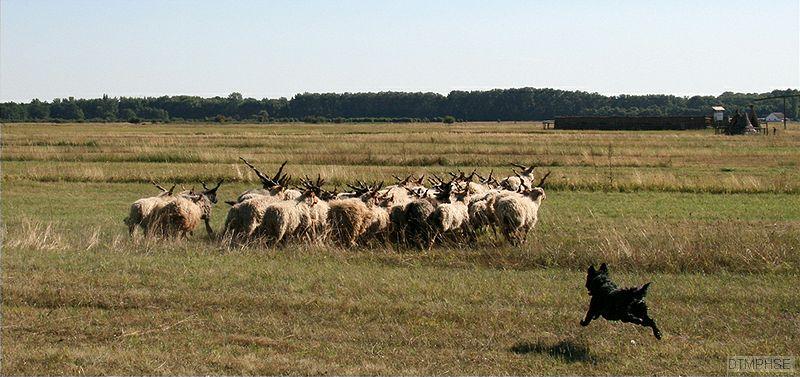 Az őshonos pásztorkutyák komoly szerepet töltöttek be az állattartásban