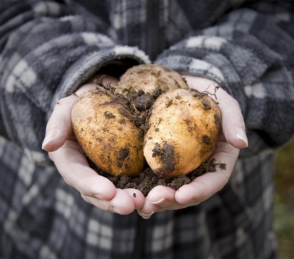 Egyre több krumplit termesztenek, elsősorban ipari célokra