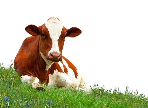 Újabb veszélyes betegség fenyegeti a szarvasmarhákat!
