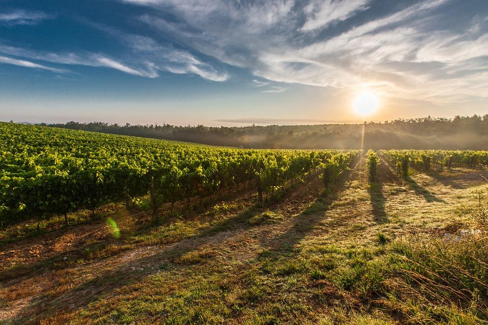 Ha az ideális területen termesztünk szőlőt, biztosan nem marad el a siker és a vegyszerhasználatot is csökkenteni tudjuk