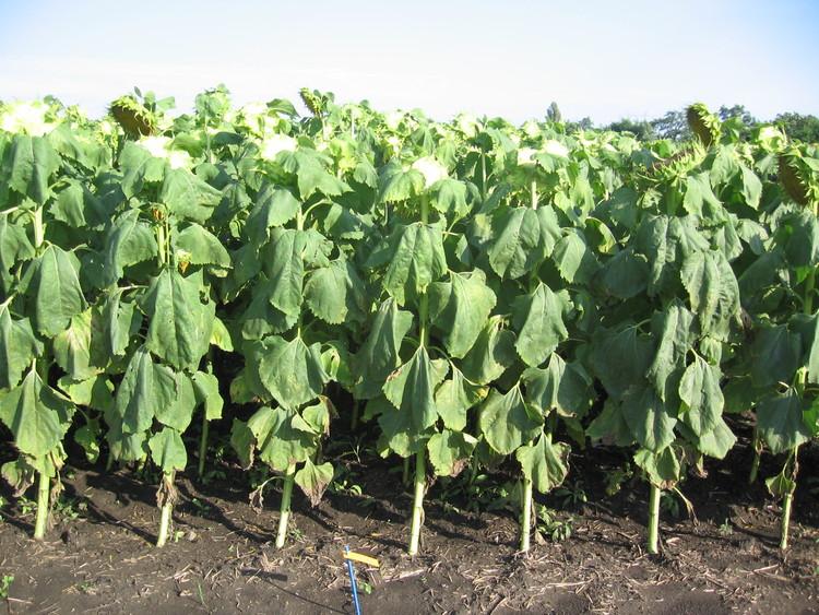 Deszikkálás nélkül magasabb a termésveszteség lehetősége a napraforgónak (Fotó: tankonyvtar.hu)