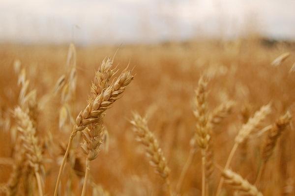 Majdnem 20 százalékkal csökkent a búza felvásárlási ára, joggal aggódnak a gazdák