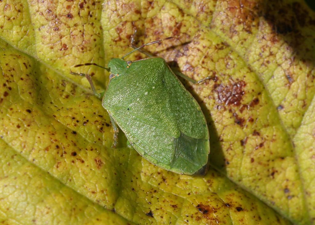 A zöld vándorpoloska rendkívül büdös rovar, szaga átragad a zöldségekre, gyümölcsökre, így azok szinte fogyaszthatatlanok lesznek