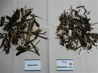 A BactoFil® Cell hatására a kukorica  szármaradványai nagyobb mértékben  bomlottak el, mint a tarlóbontó oltóanyaggal nem kezelt területen (Újcsanálos, 2016. 04.20.)