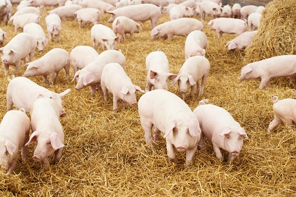 A modernebb farmokon már kamerarendszerek segítségével is figyelik a sertések növekedését