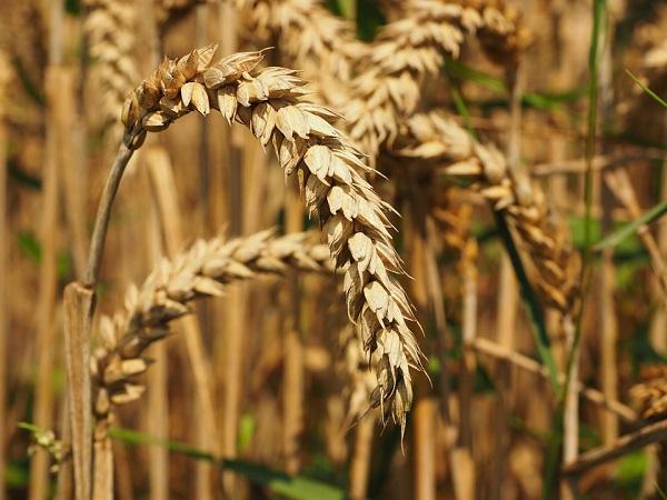Csökkent a gabonafélékből származó árbevétel