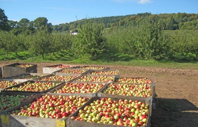 Nagyon nehéz helyzetbe kerülnek a magyar almatermesztők a lengyel alma miatt