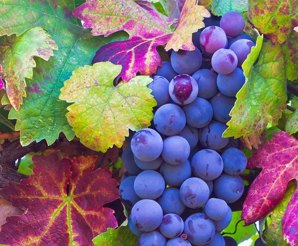 Nem túl jó az idei szezon a szőlészek szempontjából