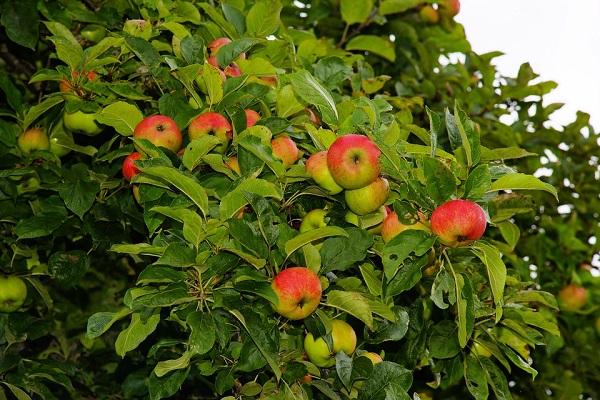 Egyre kevesebb almát fogyasztunk, ez is negatívan hat a magyar almatermesztésre