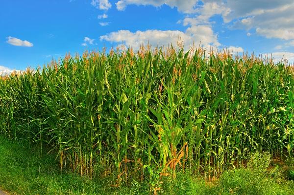Tolnában jól haladnak a gazdák a kukorica betakarításával