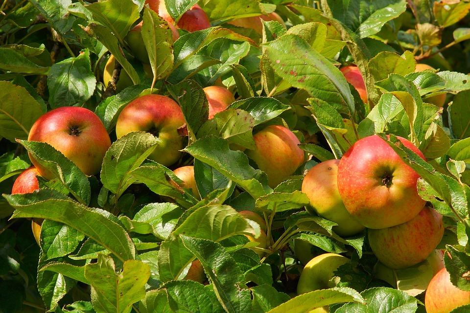 Az aszályérzékeny gyümölcsösök kedvezőbb elbírálásban részesülnek