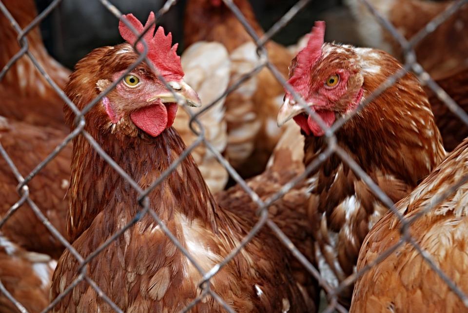 A zárt tartás a lehető legjobb védekezés a madárinfluenza ellen