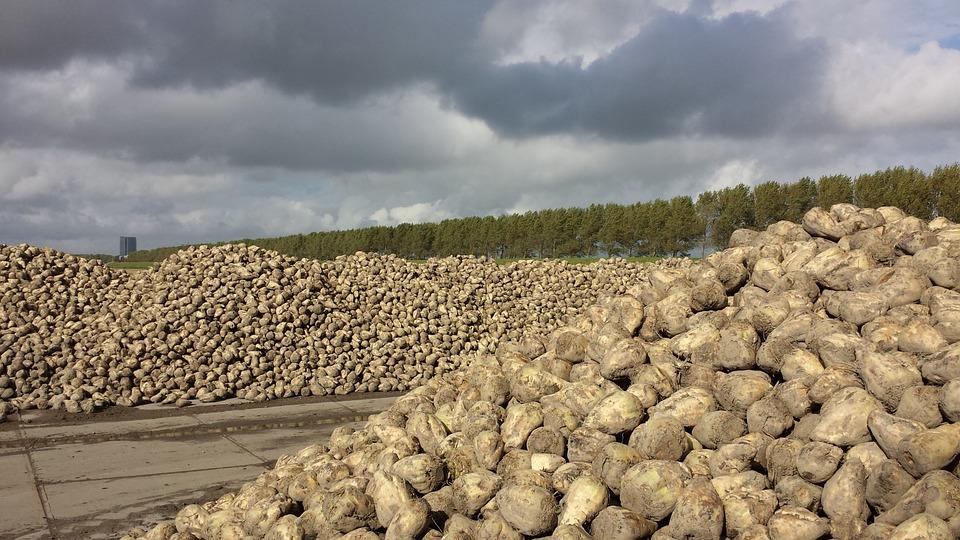 A kvótakivezetés komoly hatással lehet a hazai cukorgyártásra